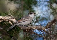 Whistlers and Shrike-thrushes