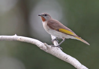 Rufous-throated Honeyeater