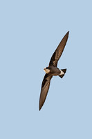 White Throated Needletail