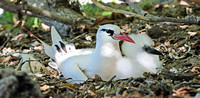 Red-tailed Tropic Bird & young