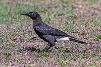 Pied Currawong immature